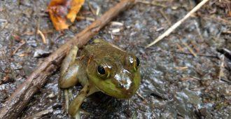 appalachian-trail-frog